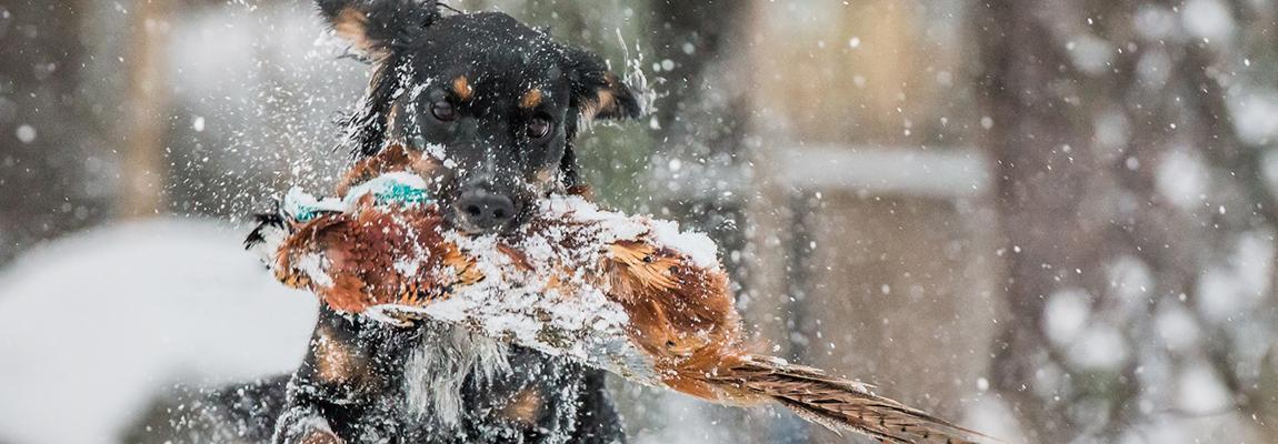 Fågelhundsträning